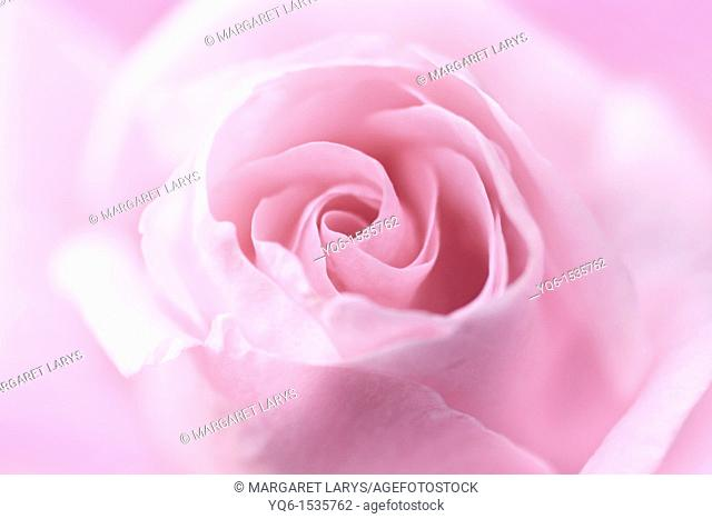 Beautiful, soft pink rose close up