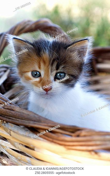 Calico kitten sitting in a basket and looking at camera