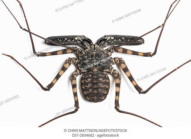 Tailless Whip Scorpion, Damon diadema, East Africa (captive). Family Phrynichidae