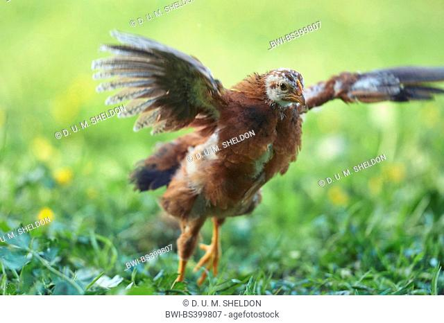 domestic fowl (Gallus gallus f. domestica), young bird flapping wings in a meadow, Germany