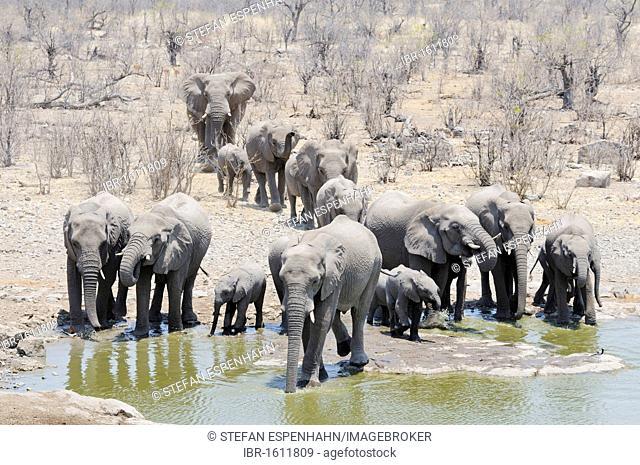 African elephant (Loxodonta africana), herd at the Moringa waterhole in Halali, Etosha National Park, Namibia, Africa