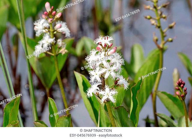 Bogbean (Menyanthes trifoliata ) in flower