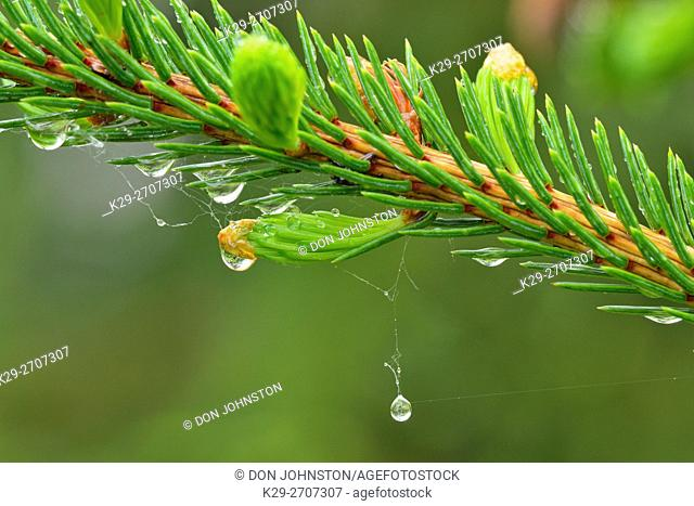 Raindrops on spruce needles (Picea glauca), Greater Sudbury, Ontario, Canada