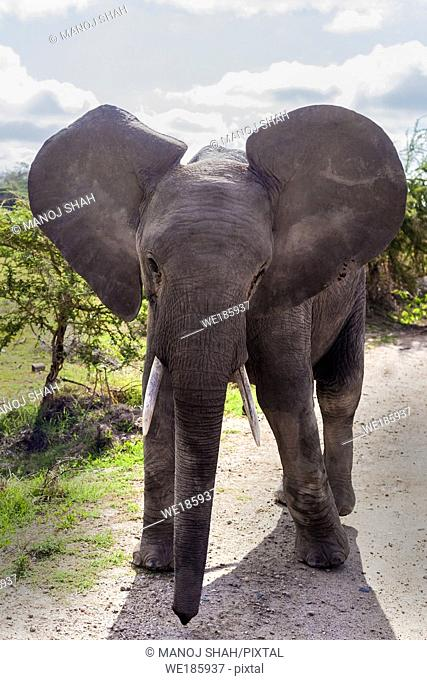 African Elephant youngster walking in Amboseli National park, Kenya