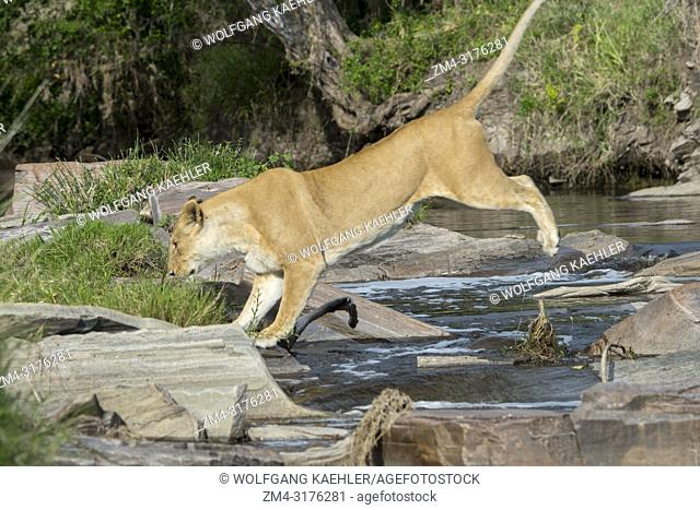 A lioness (Panthera leo) is crossing a small creek (trying not to get wet) in the Masai Mara National Reserve in Kenya