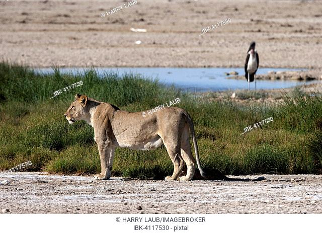 African Lion (Panthera leo), female, Etosha National Park, Namibia