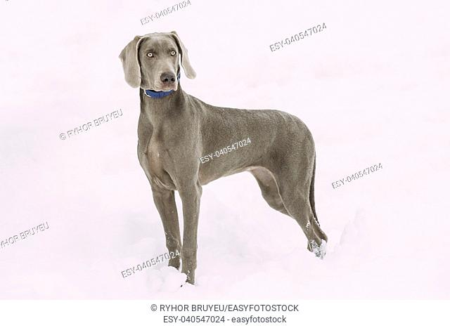 Beautiful Weimaraner Dog Standing In Snow At Winter Day. Large Dog Breds For Hunting. The Weimaraner Is An All-purpose Gun Dog