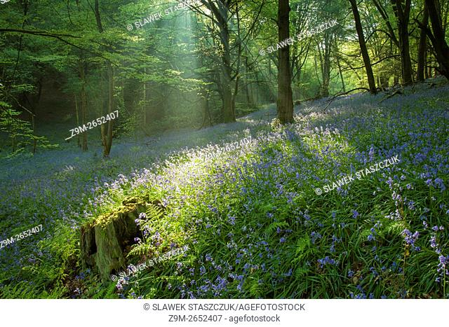 Shafts of light in a bluebell woodland near Horsham, West Sussex, England