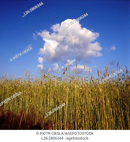 Poland. Field of rye with cloud