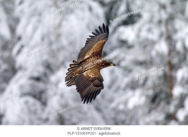 White-tailed Eagle / Sea Eagle / Erne (Haliaeetus albicilla) juvenile in flight in winter