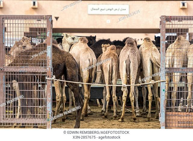Camels feeding inside of a gated pen at the Al Ain Camel Market, UAE