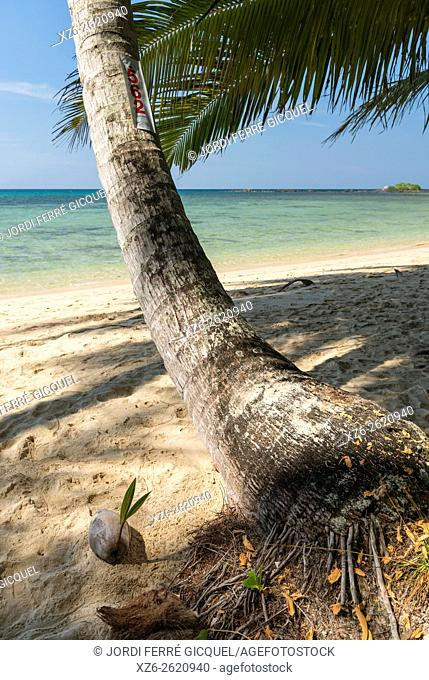 A coconut sprouting on the beach, Koh Kood island, Ko Kut district in Trat Province, Thailand, Asia