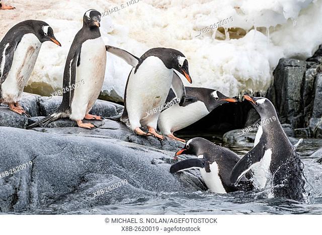 Gentoo penguins, Pygoscelis papua, returning from the sea at Dorian Bay, Antarctica