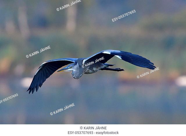 Grey heron in the morning in saxon in flight