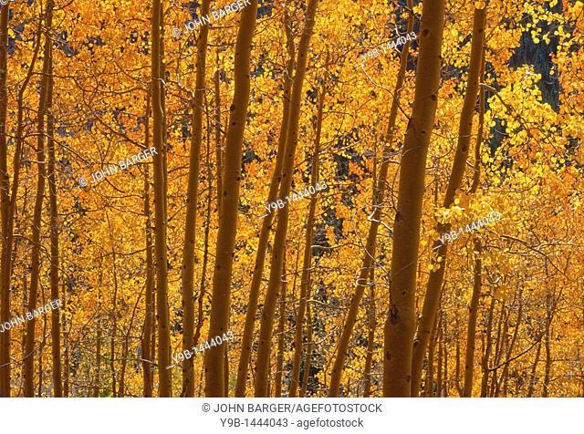 Backlit leaves of quaking aspen Populus tremuloides take on an orange glow, Uncompahgre National Forest, southwest Colorado, USA