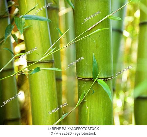 A grove of giant, green bamboo timbers with leaves