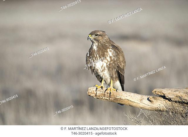 Buzzard (Buteo buteo) is a species of bird accipitriforme of the Accipitridae family of the Old World. It is the most common species of the Accipitridae family...