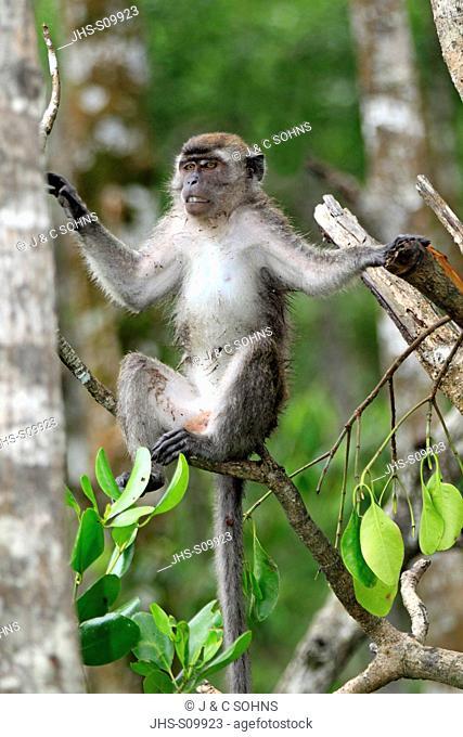 Long-Tailed Macaque, Macaca facicularis, Labuk Bay, Sabah, Borneo, Malaysia, Asia, adult on tree