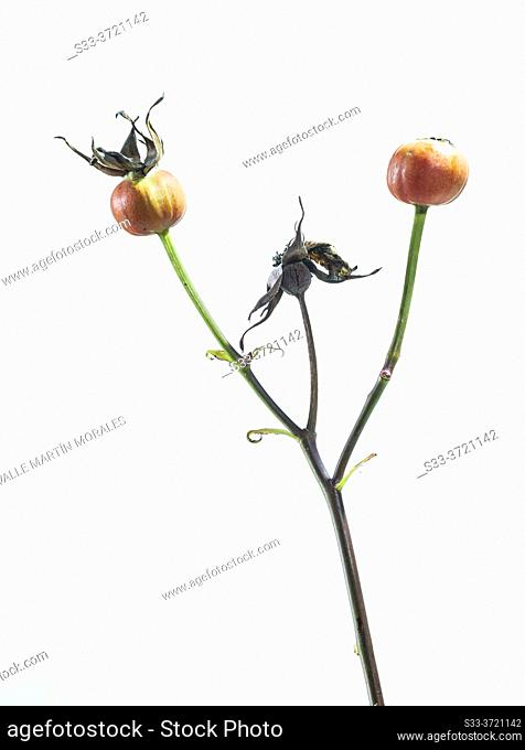 Seeds of a rose bush