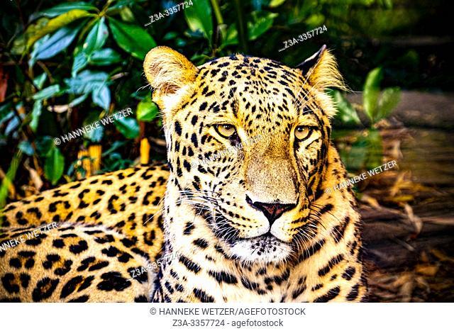 Portrait of a Leopard (Panthera pardus)