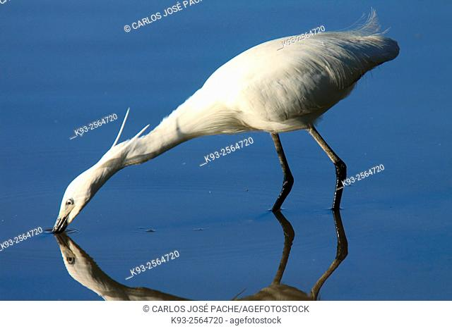 Little Egret (Egretta garzetta). Parque Natural de S'Albufera de Mallorca. Balearic Islands. Spain