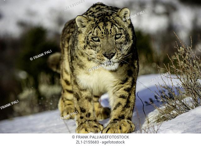 Snow leopard (Panthera uncia or Uncia uncia), Bozeman, Montana, USA
