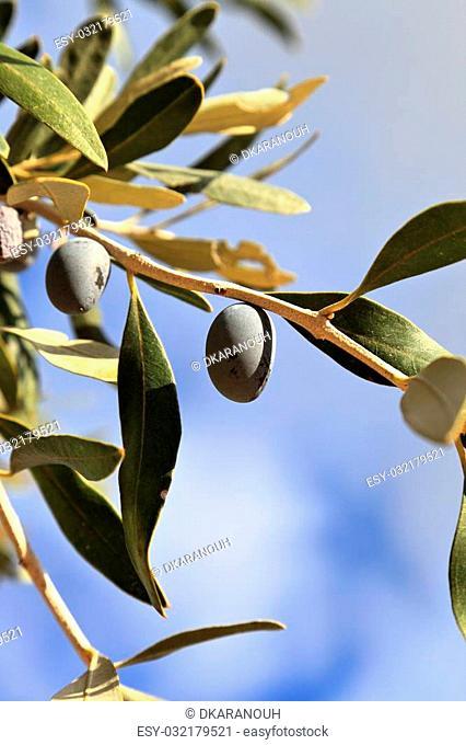 Black olives on tree