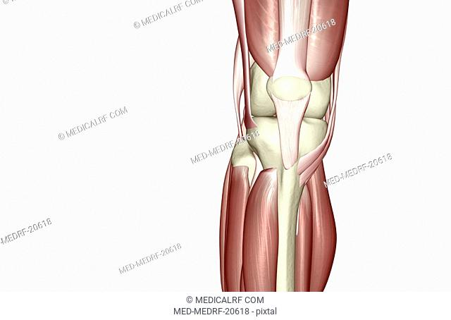 Patellar ligament Stock Photos and Images   age fotostock