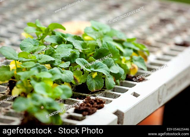 Young fresh seedling stands in plastic pots. Plants used for educational purposes in thematic laboratories