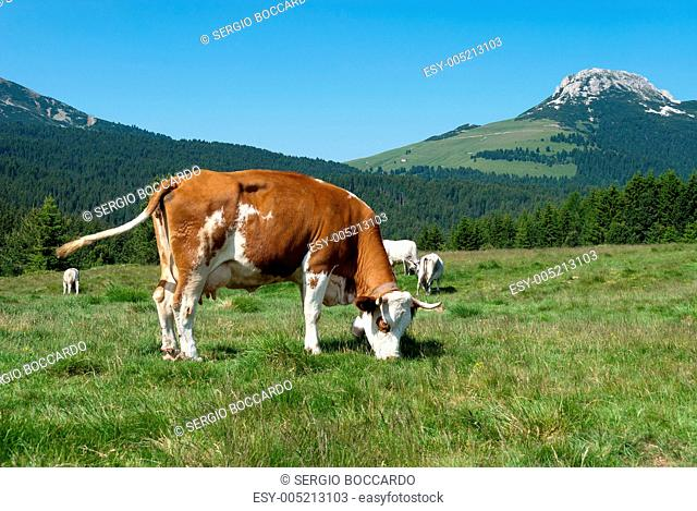 cow in South Tyrol