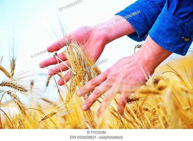 wheat in the hand, wheat field in Crimea