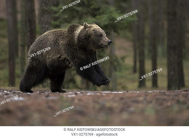 European Brown Bear ( Ursus arctos ) on the run, running, jumping, taken form a low point of view, funny