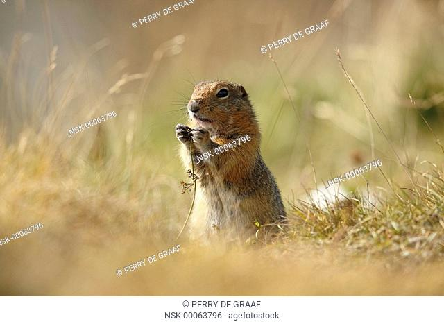 Arctic Ground Squirrel (Spermophilus parryii) standing in grass, eating vegetation, United States, Alaska, Denali National Park and Preserve
