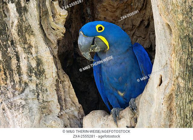 Hyacinth Macaw (Anodorhynchus hyacinthinus) in its tree nest, Pantanal, Mato Grosso, Brazil
