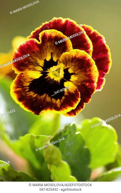 Dark Brown Pansy Flower with Yellow Edge. Viola x wittrockiana