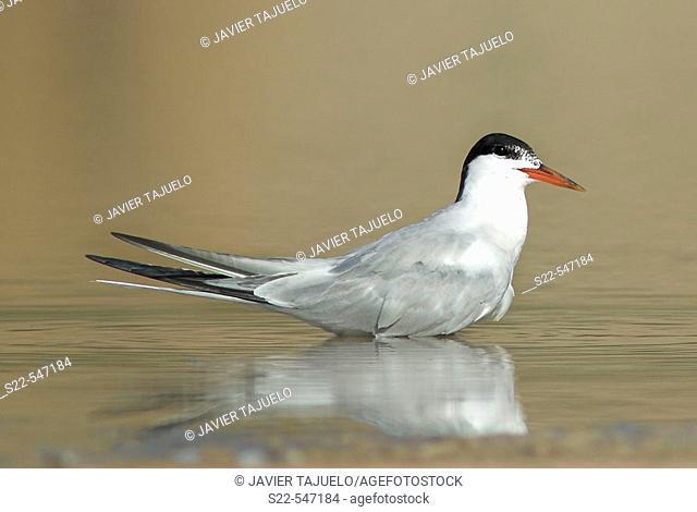 Common Tern, Sterna hirundo, Marjal del Moro, Comunidad Valenciana. Spain
