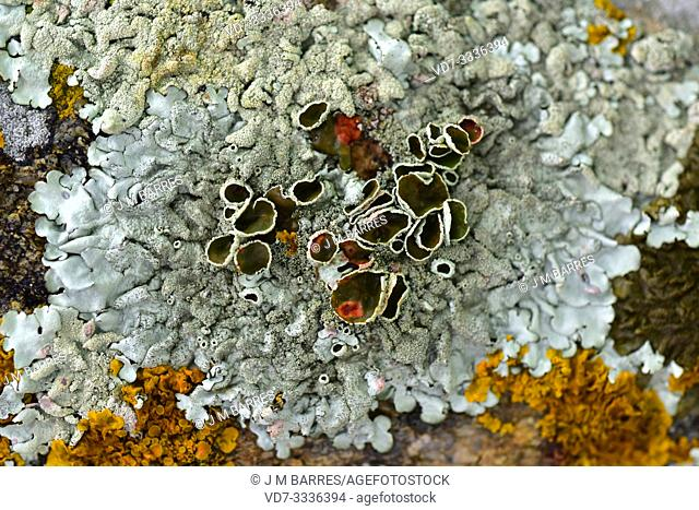 Xanthoparmelia tinctina or Parmelia tinctina is a foliose lichen with isidia and sometimes apothecia. This photo was taken in La Albera, Girona province