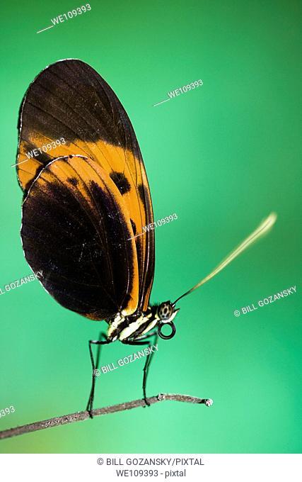 Longwing Butterfly Species Captive - La Selva Jungle Lodge, Amazon Region, Ecuador