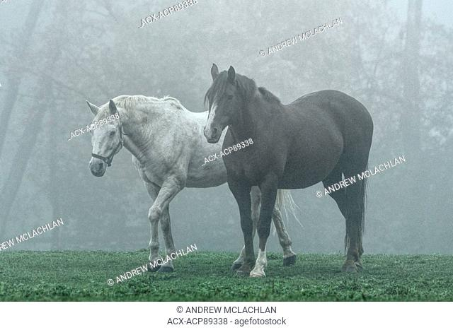 Horses in fog near Milton, Ontario, Canada