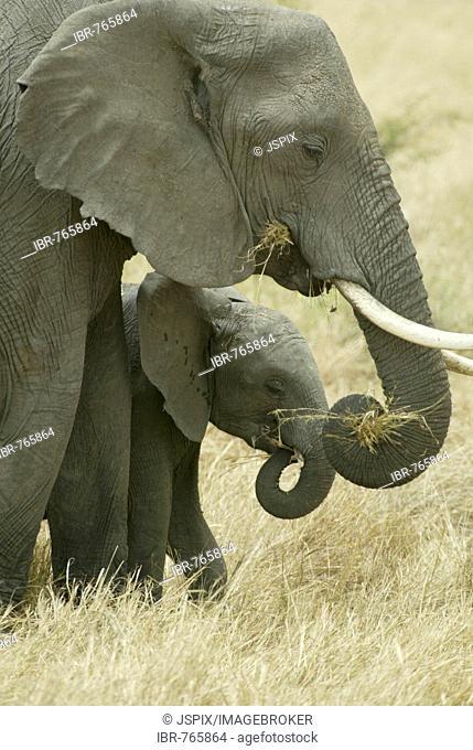 African Bush Elephant (Loxodonta africana), cow and calf eating, Masai Mara, Kenya, Africa