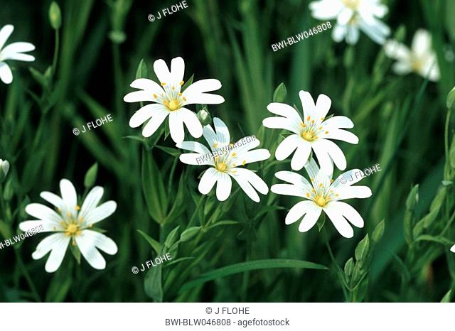 easterbell starwort, greater stitchwort Stellaria holostea, blooming, Germany, North Rhine-Westphalia