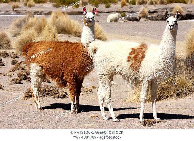 Llamas in the vicinity of Negrillos village in Bolivia