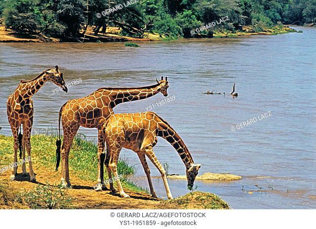 Reticulated Giraffe, giraffa camelopardalis reticulata, Group drinking at River, Samburu Park in Kenya
