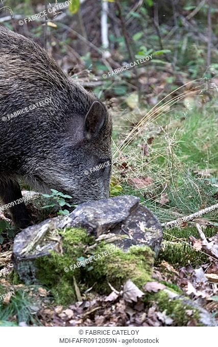 Nature - Fauna - Wild boar - Young wild boar looking for food in forest
