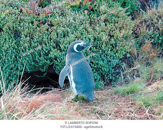 Bird, Penguin, Colônia Britânica, Atlântico Ocean Sul, Malvinas Island, Falkland, Port Stanley