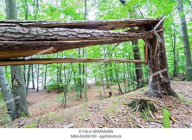 Fallen tree in deciduous forest, Triebtal, Vogtland, Saxony, Germany