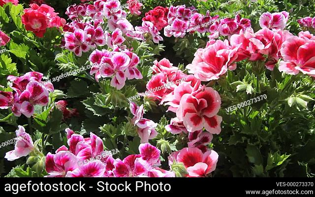 Pelargonium for sale