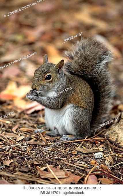 Eastern gray squirrel (Sciurus carolinensis), adult, feeding, Florida, USA