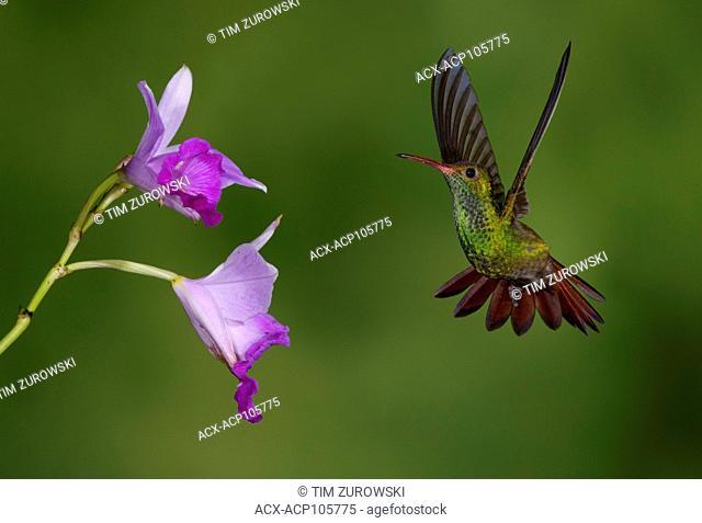 Rufous-tailed Hummingbird (Amazilia tzacatl) at the Nature Pavilion in La Virgen, Costa Rica
