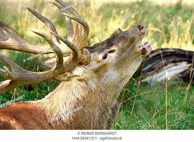 Rut, rut events, rutting season, Cerviden, Cervus elaphus, antlers, antler bearer, home game, deer, deer rut, deer, hoofed animals, nature, red deer